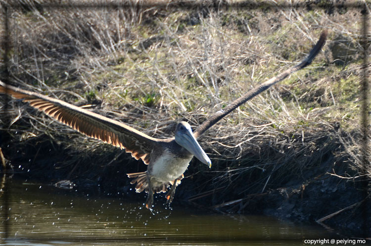 The once endangered Brown Pelican