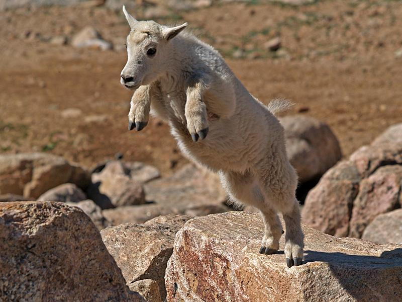 Leapin Mountain Goat