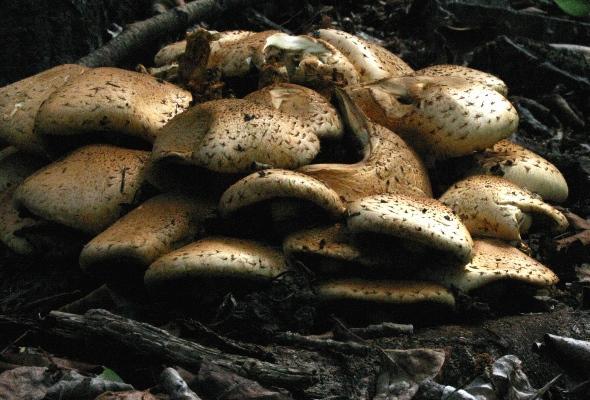 Mushroom Pile in Aspen Forest