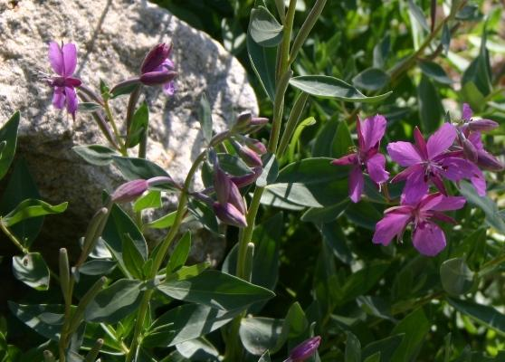 <i>Epilobium latifolium</i> alongside Lamoille Creek