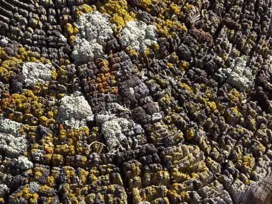 Lichens Atop a Post