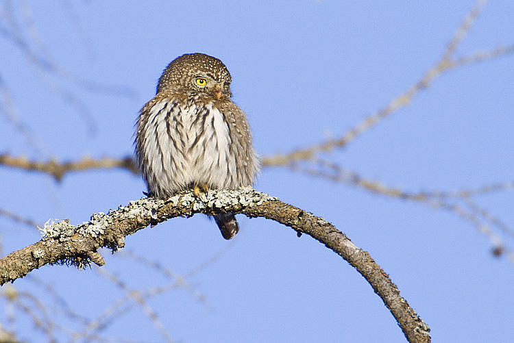 northern pygmy owl 020109_MG_1617
