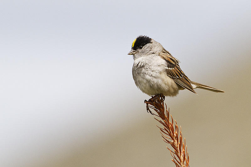 golden-crowned sparrow 071110_MG_3017