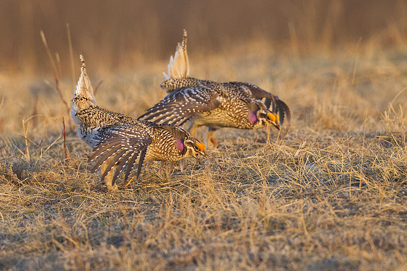 sharp-tailed grouse _MG_8409