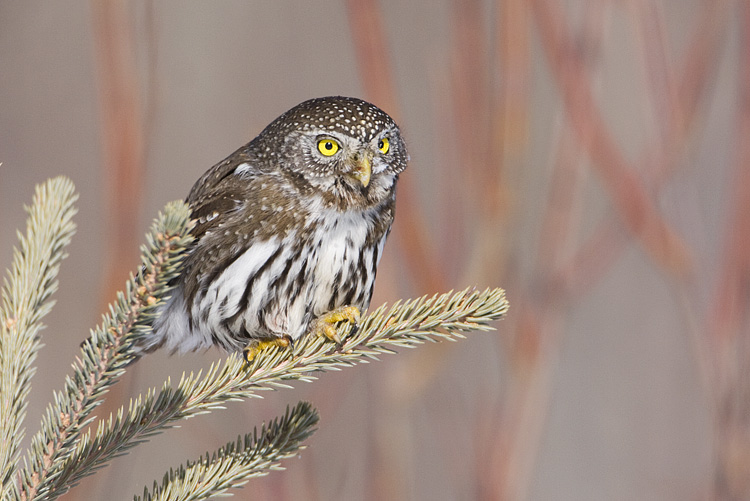 northern pygmy-owl 030208IMG_1069