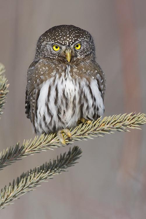 northern pygmy-owl 030208IMG_1157