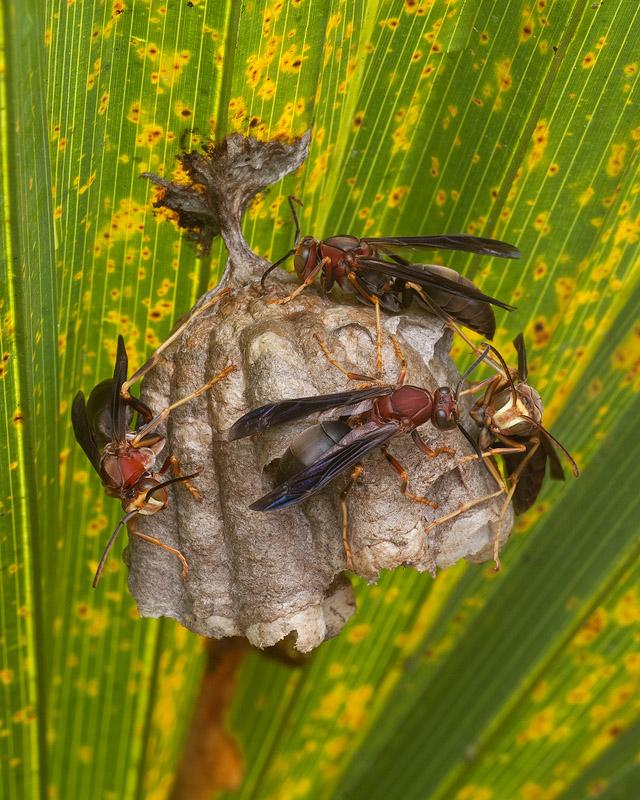 Wasp Nest on Palmetto