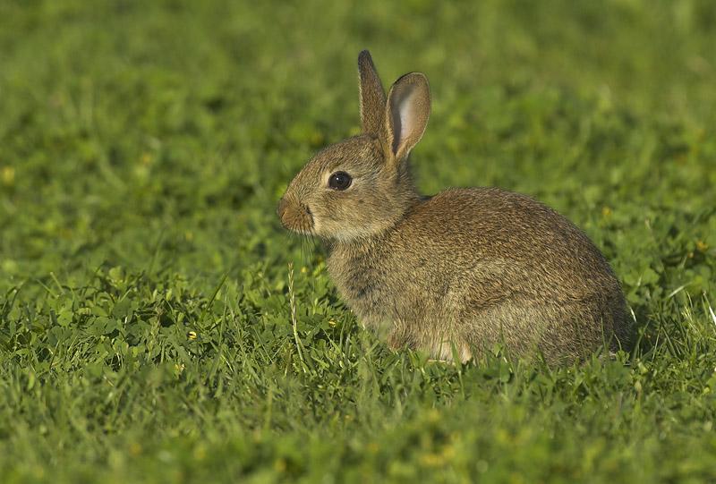 Rabbit - Lepus cunicula