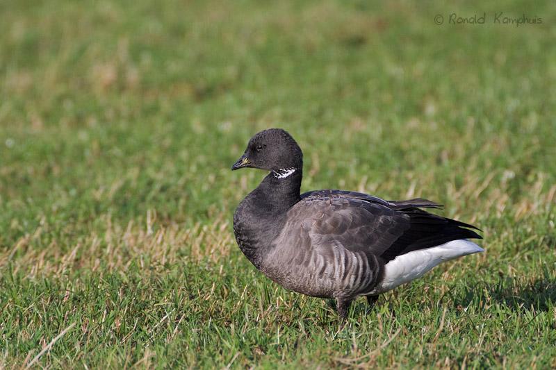 Dark-bellied Brant Goose - Rotgans