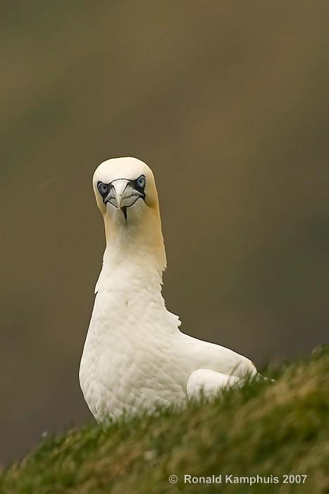 gannet - jan van gent