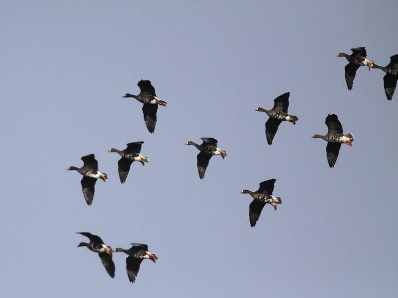Greenland White-fronted Geese, Gartocharn, Clyde