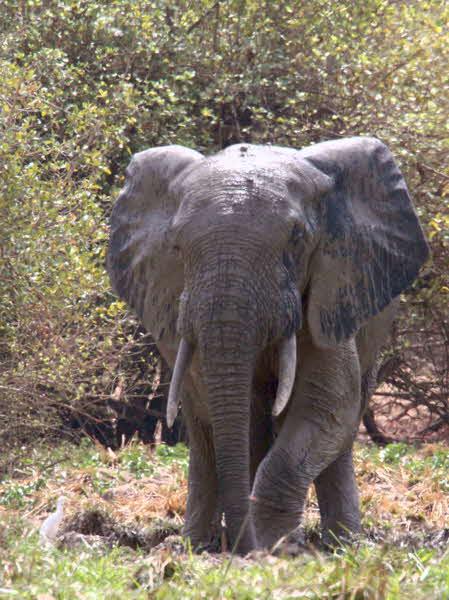 Elephant, Mole NP, Ghana