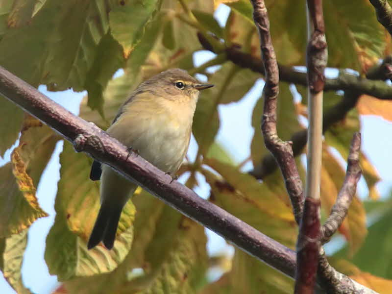 Chiffchaff, Barons Haugh RSPB, Clyde