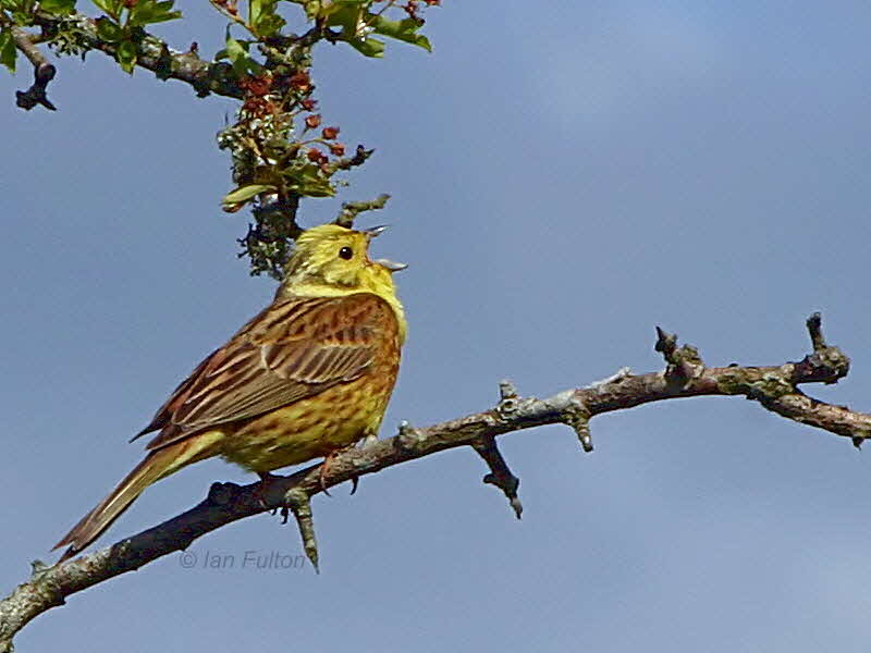 Yellowhammer, Brow Well, Dumfries&Galloway