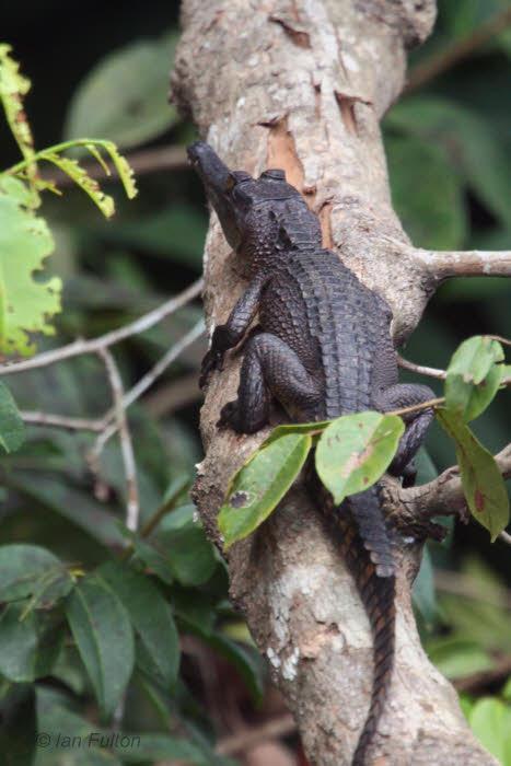 Slender-snouted Crocodile, Mpivié River-Loango NP, Gabon