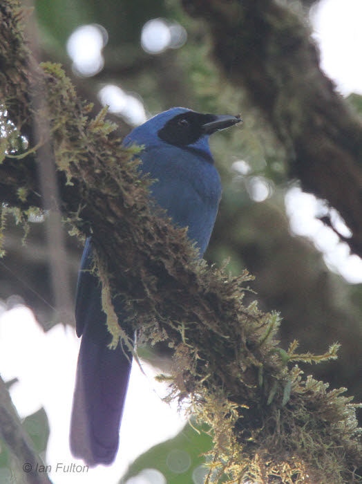 Blue-and-black Tanager, Tandayapa Valley, Ecuador