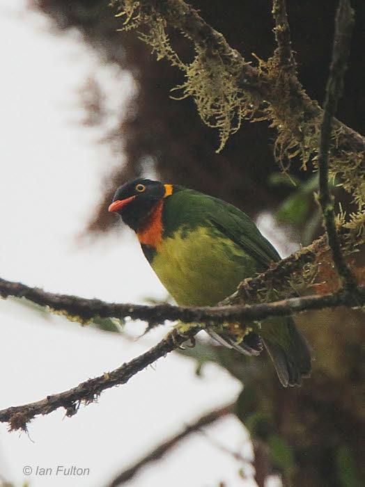 Orange-breasted Fruiteater(male), Tandayapa Valley, Ecuador
