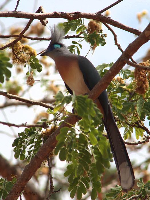 Crested Coua, Swiss Camp-Kirindy NP, Madagascar