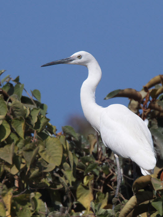 Dimorphic Egret, Lake Alarobia-Antananarivo, Madagascar