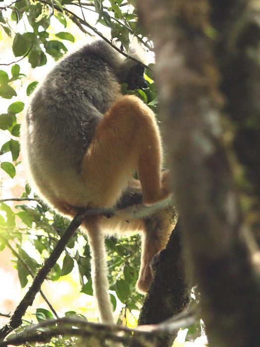 Diademed Sifaka, Mantadia NP, Madagascar
