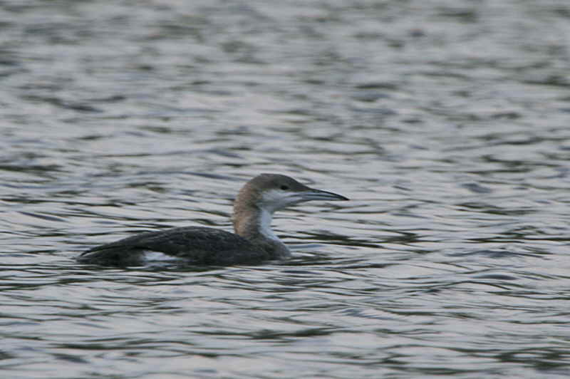 Black-throated Diver, Glanderston Dam, Clyde