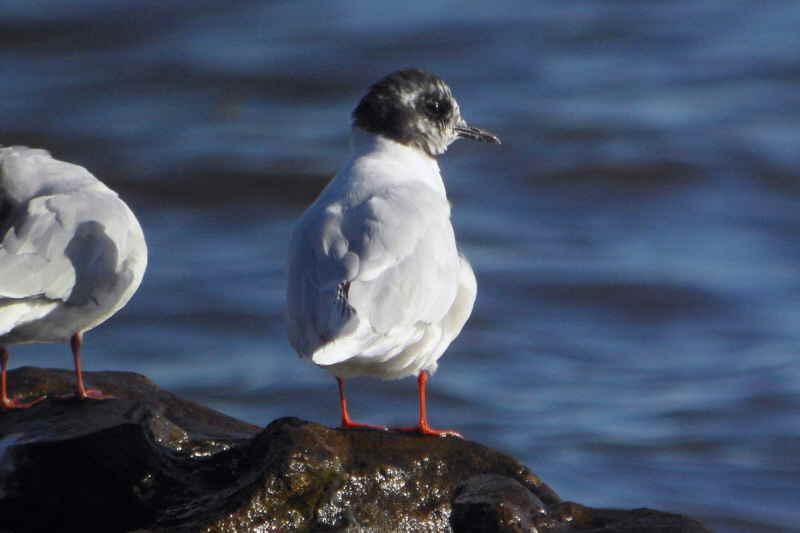 Little Gull, Balcomie, Fife