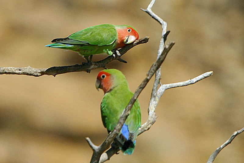 Rosy-faced Lovebird, Erongo Wilderness Lodge, Namibia