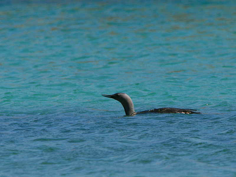 Red-throated Diver, Handa Island SWT Nature Reserve