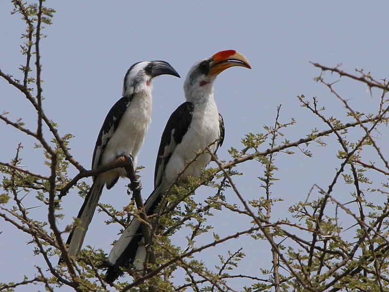 Von der Deckens Hornbill, Afar Plains