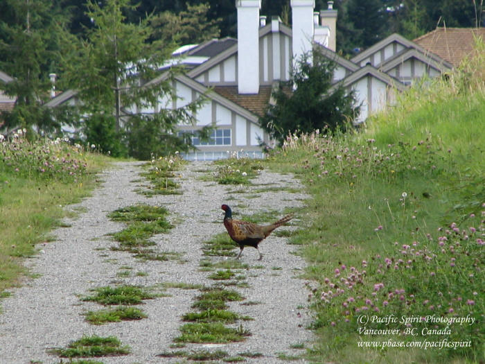 Why did the pheasant cross the road?