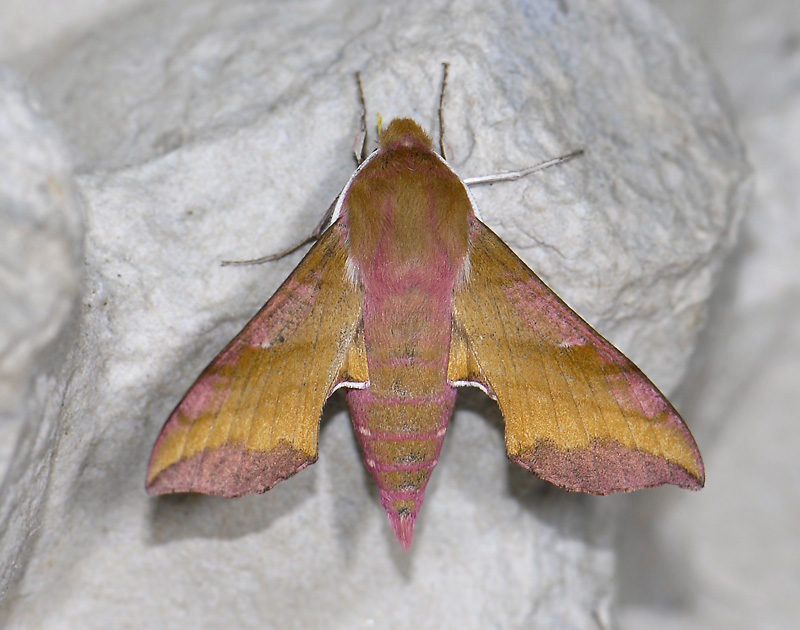 1980   Deilephila porcellus  9676.jpg