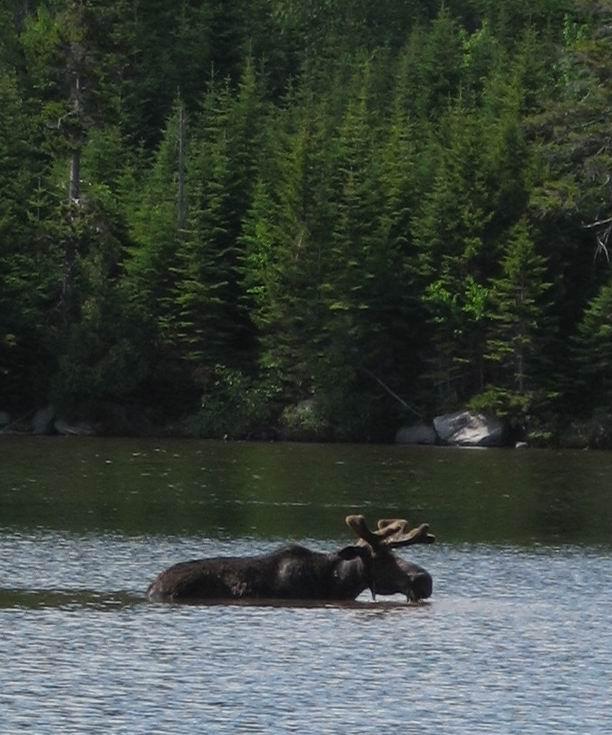 Moose in velvet