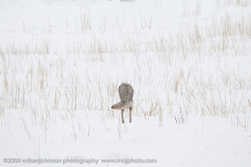 057-Coyote Jumps for Vole