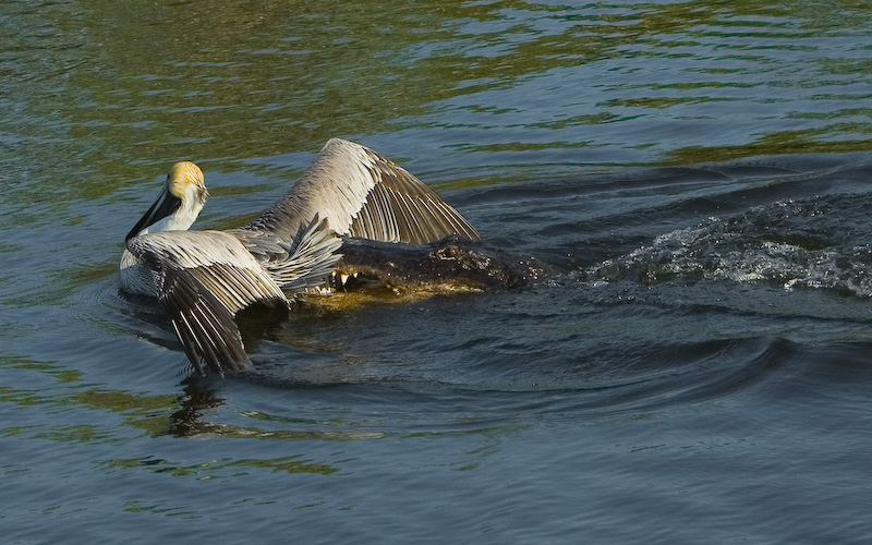 Pelican caught by Alligator