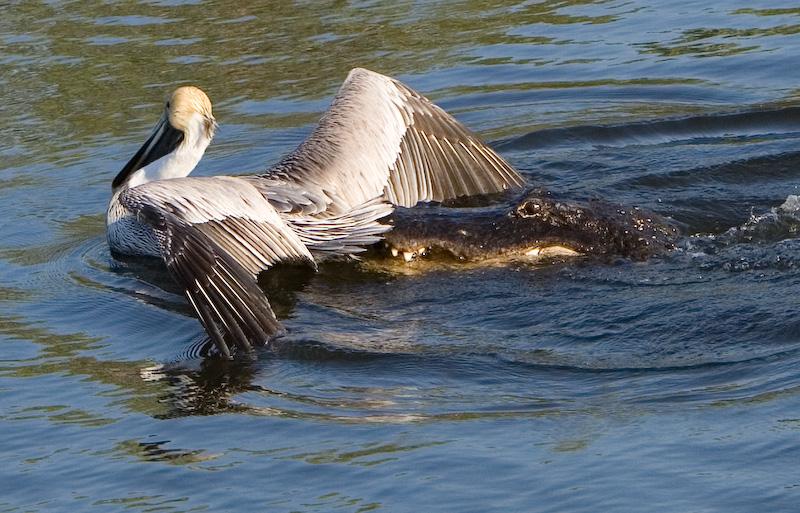 Pelican caught by Alligator