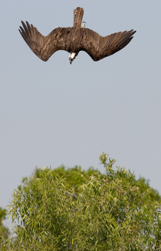 Osprey beginning dive