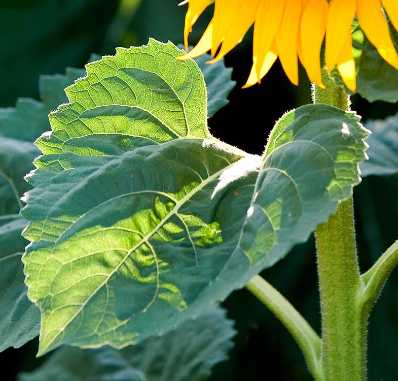 Sacramento Valley Sunflowers  2009
