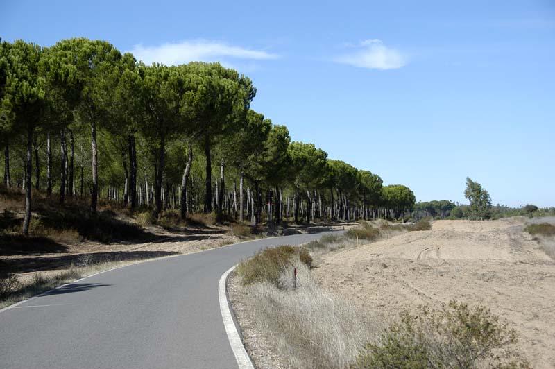 Doñana - Pine forest