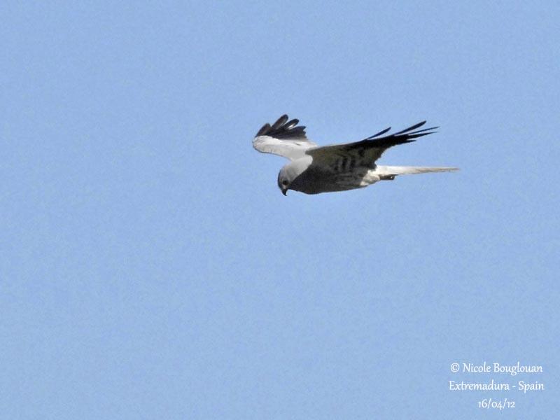 Montagus Harrier male - Normal morph
