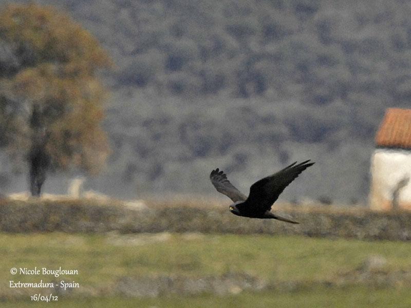 Montagus Harrier female - Dark morph