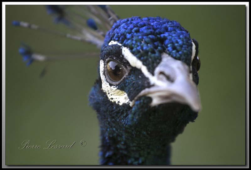 PAON BLEU ( Indien) mâle /   INDIAN PEAFOWL male      + 16    IMG_4212