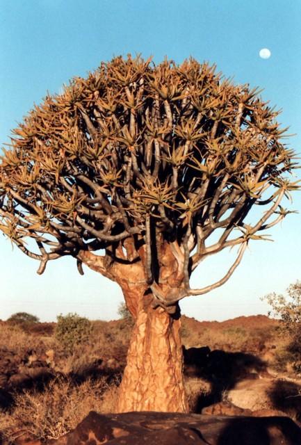 Köcherbaum / quiver tree