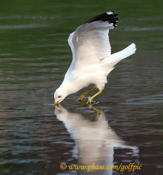 Ring-billed Gull dips into water