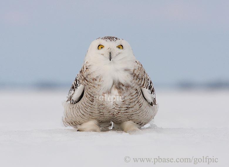 Meet Junior the friendly Snowy Owl