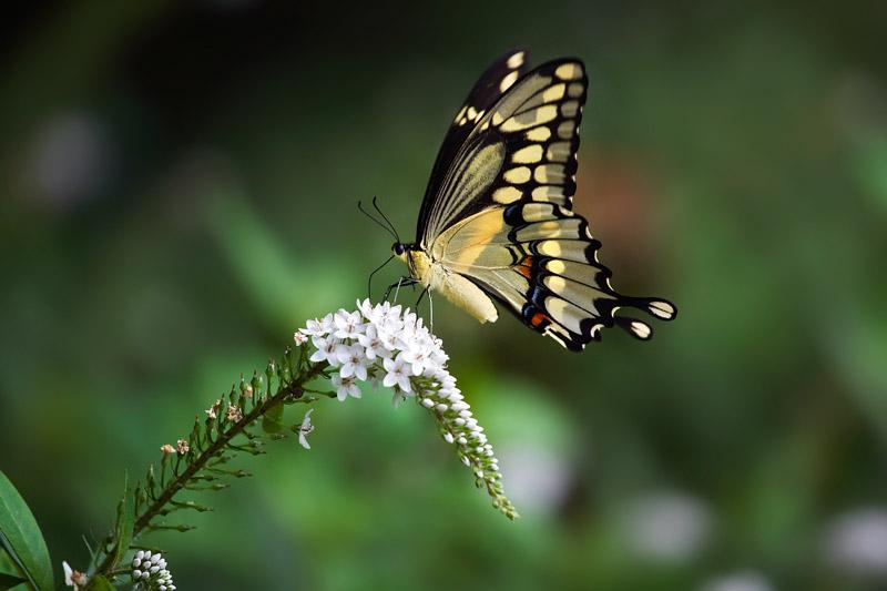 Swallowtail & flowers