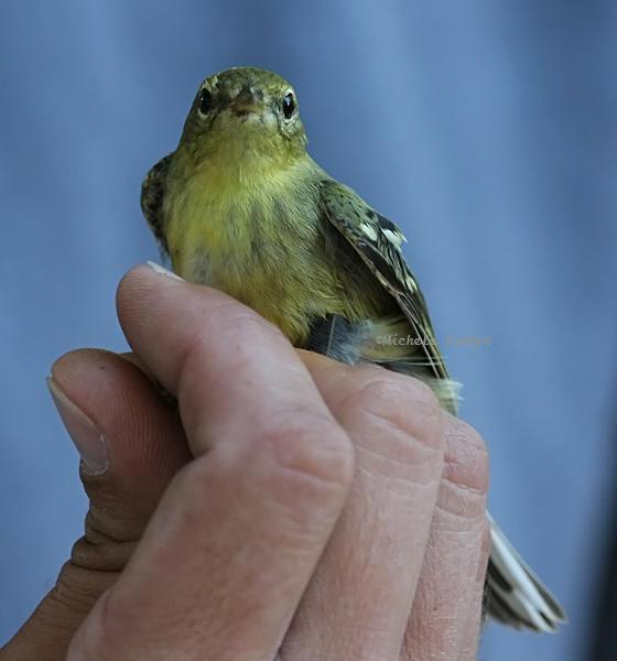 blackpoll warbler smaller one 0147 2 10-4-08.jpg