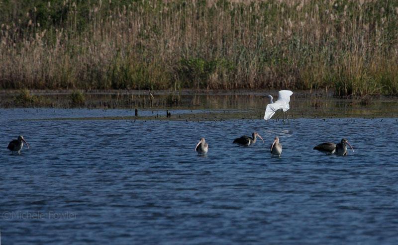 11-8-09 ibis  little blue heron 9021.jpg