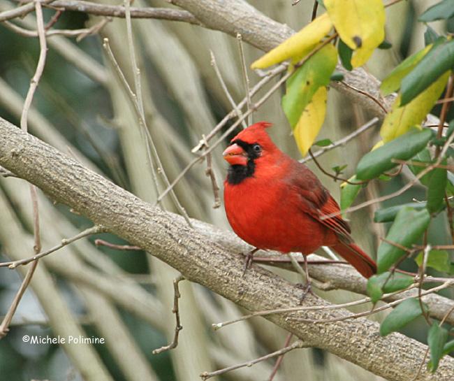 male cardinal 0026 12-25-06.jpg