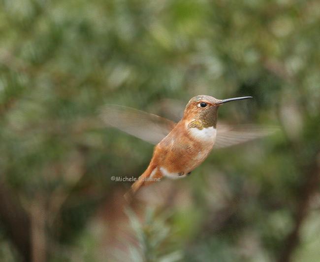 rufous hummingbird 0296 2-17-07.jpg