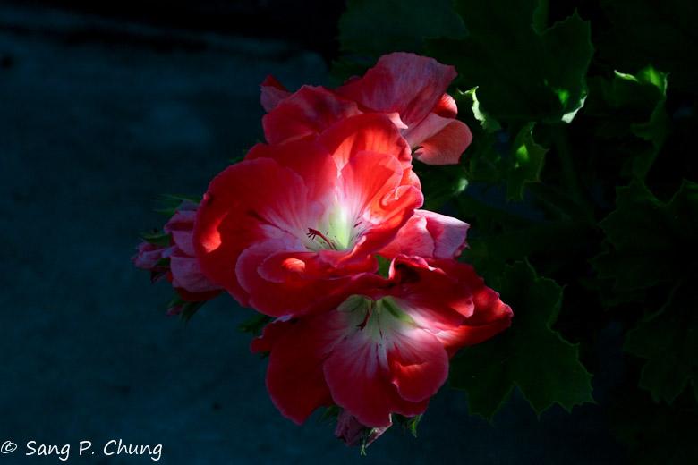 a bouquet of Geranium